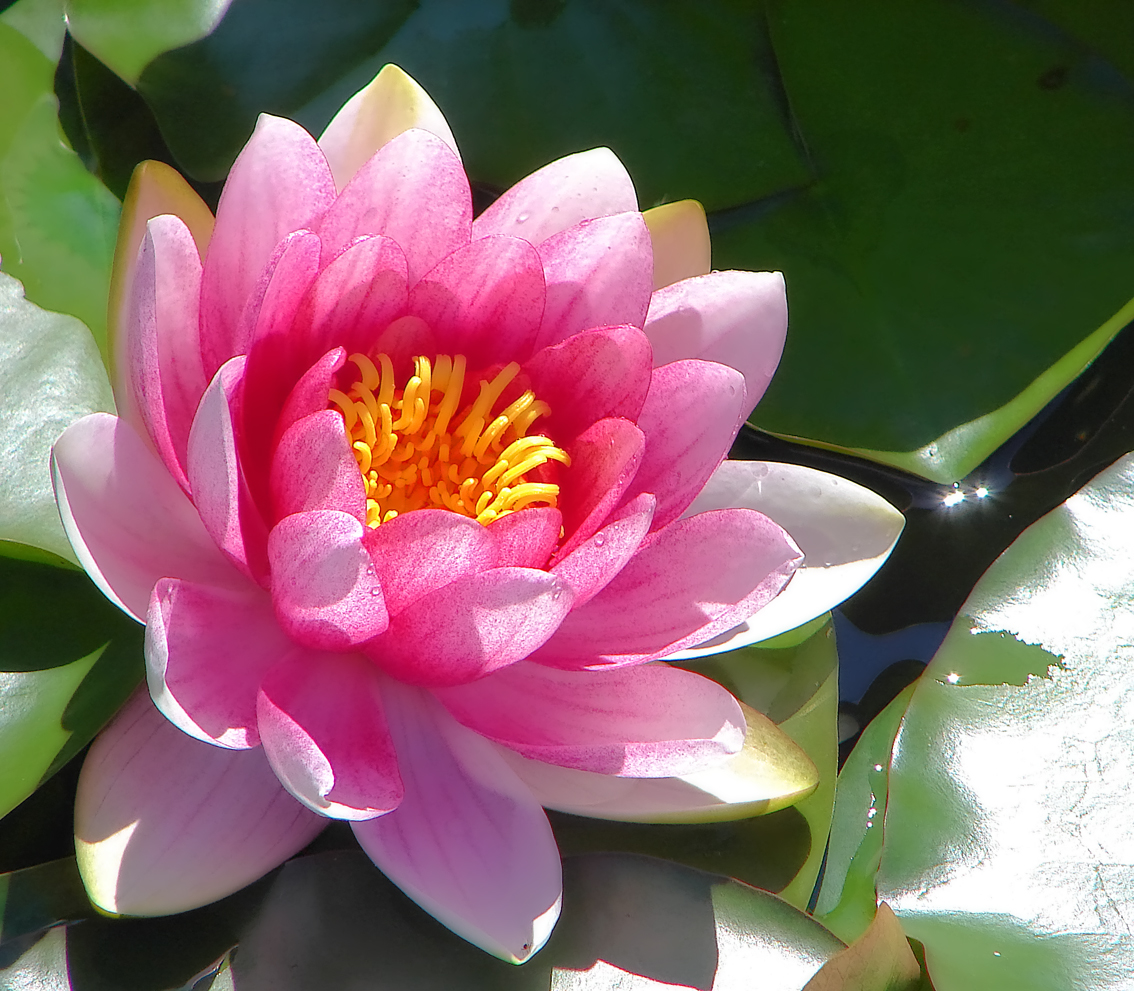 Water Lily Flower Tattoo Designs Comousar